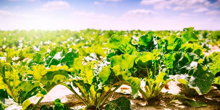 Sugar beet field